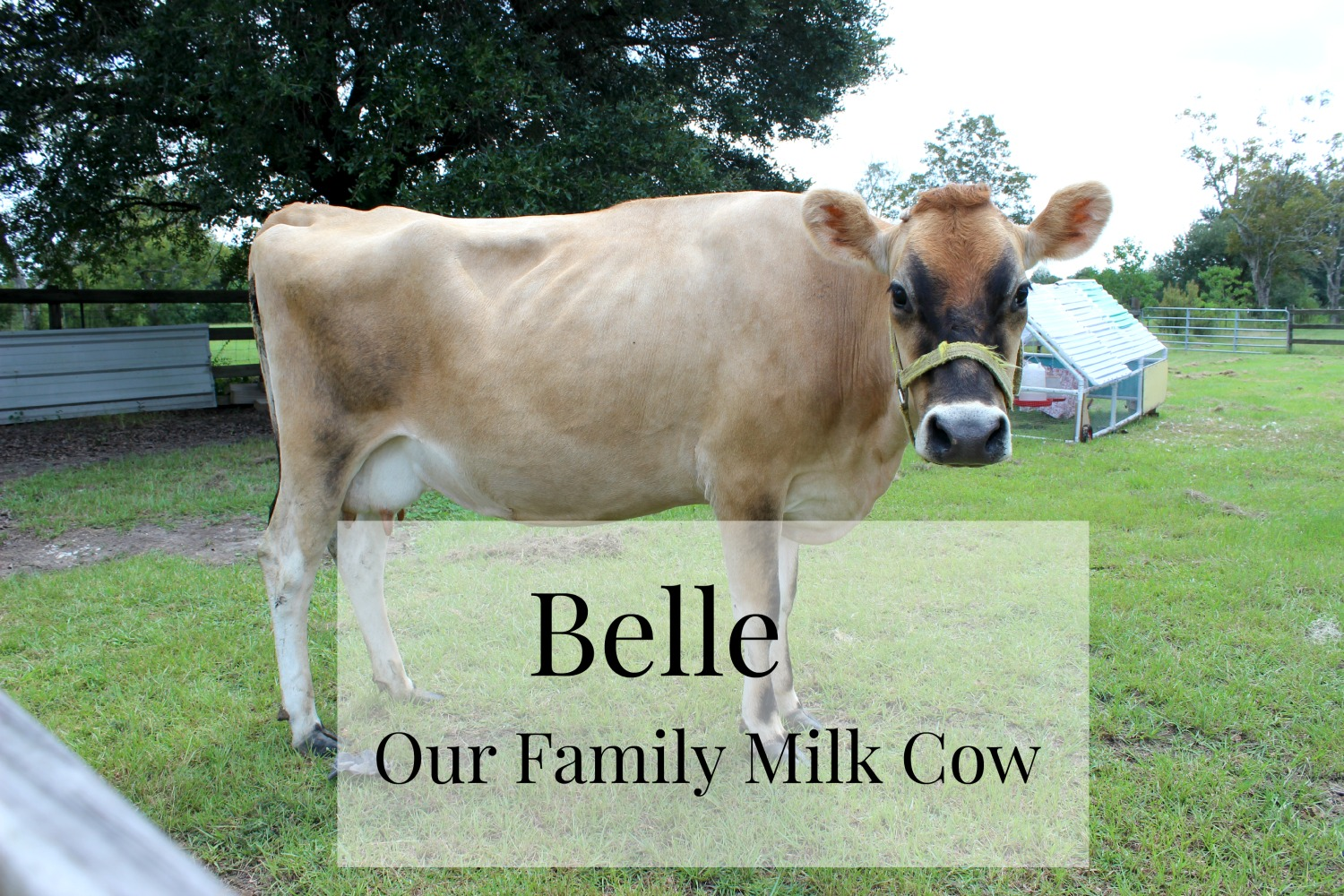 Meet Belle: Our Family Milk Cow