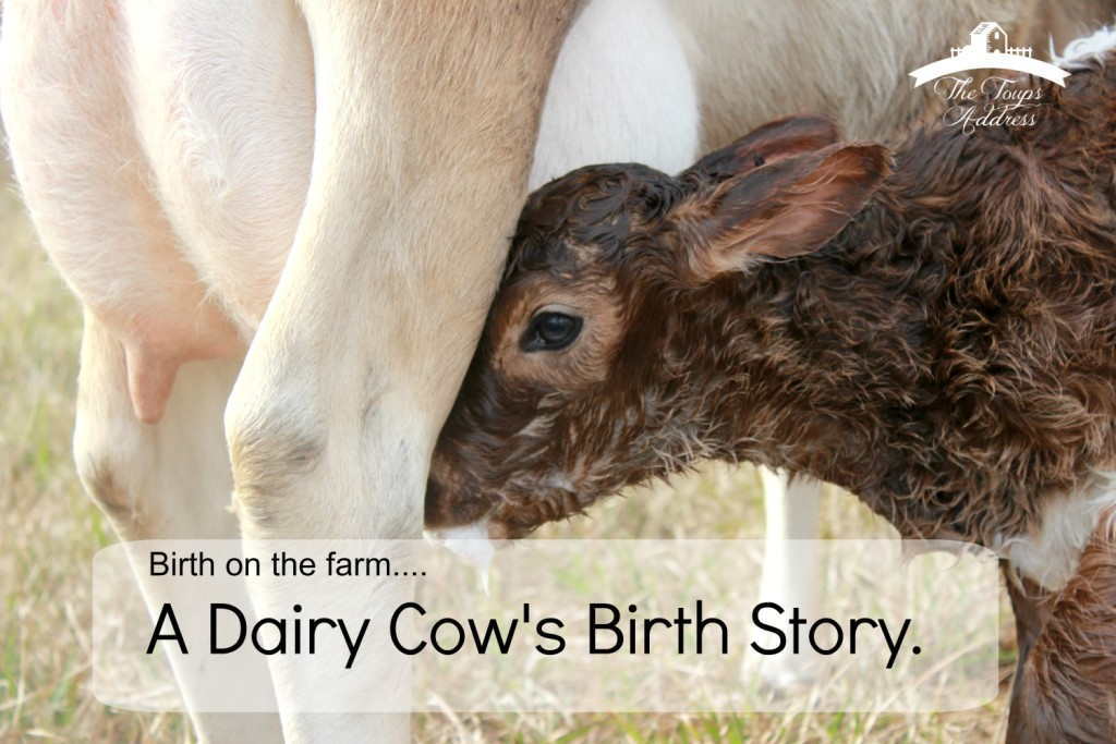 Birth on the farm…..A Dairy Cow's Birth Story